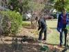 daffodil-planting9