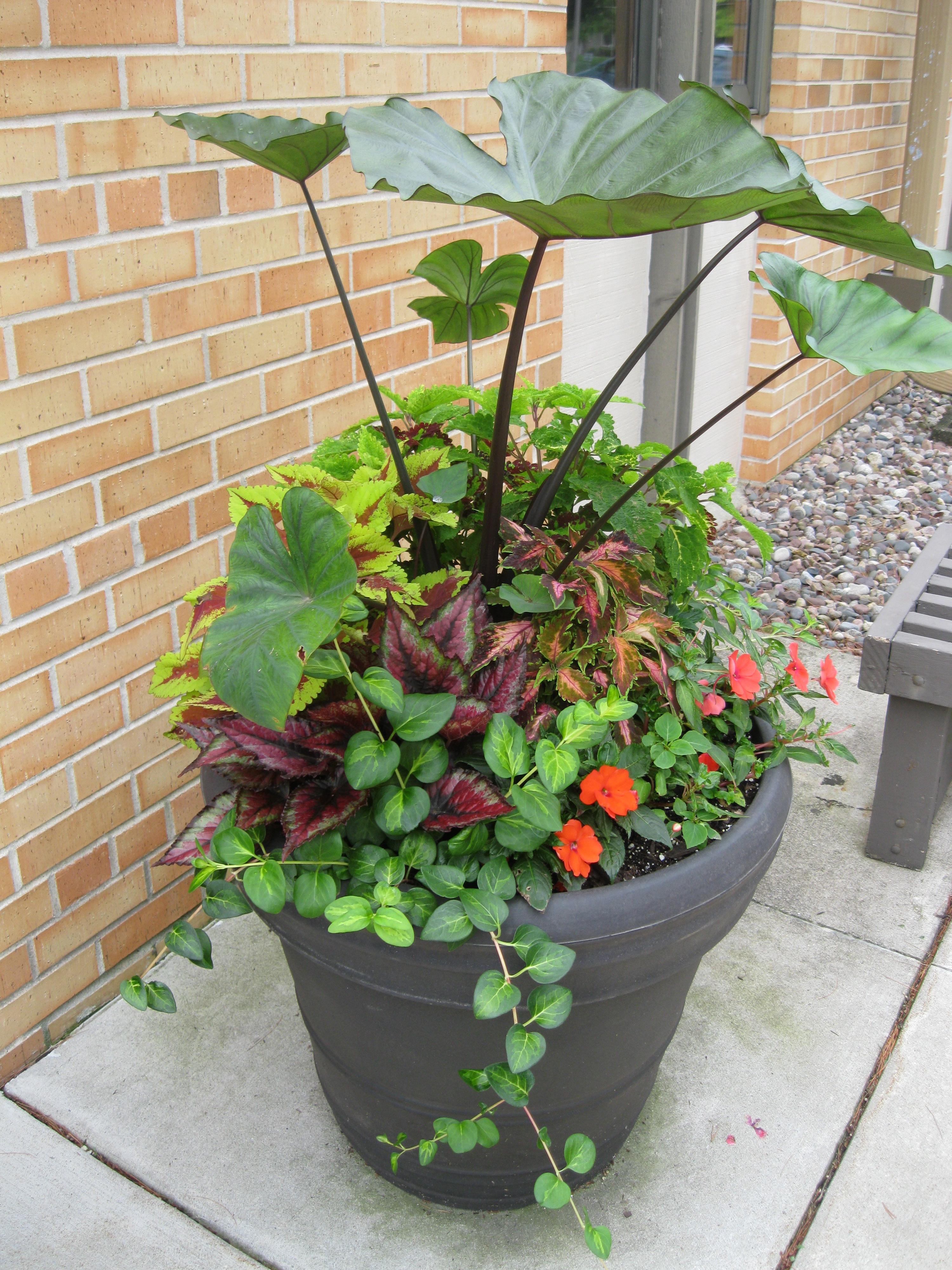 coffee cup  colocasia or elephant ear  plants  u2013 good