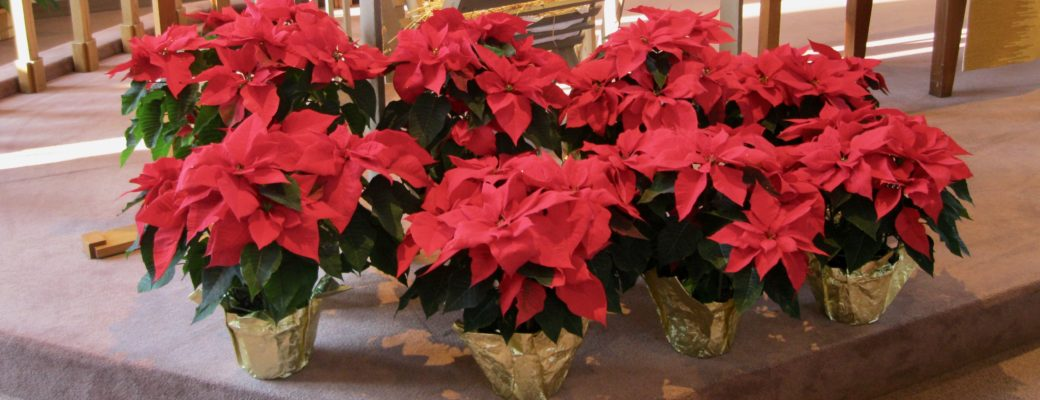 Poinsettias for Good Shepherd Sanctuary
