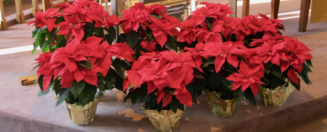 Poinsettias for the Sanctuary